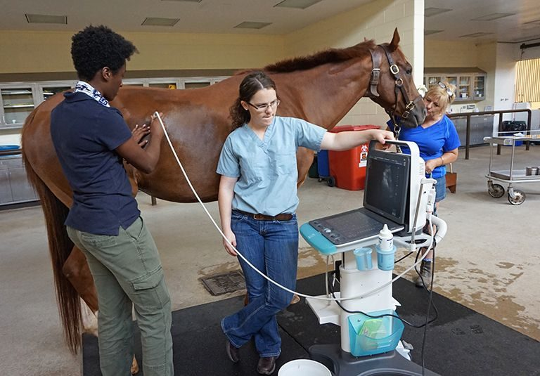 Horse patient undergoes ultrasound