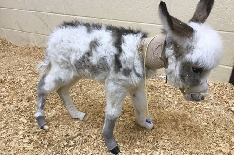 A donkey patient in Neonatal intensive care unit